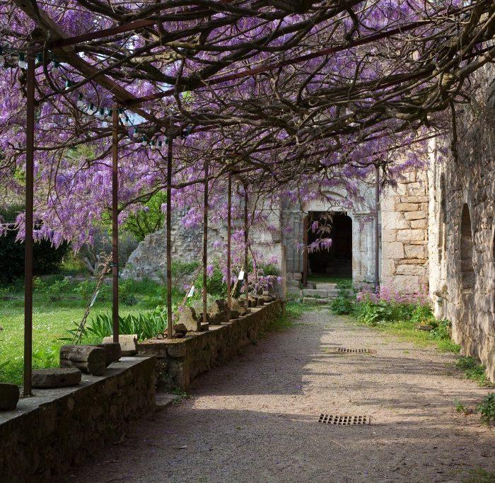 Abbaye-de-Villelongue-glycine