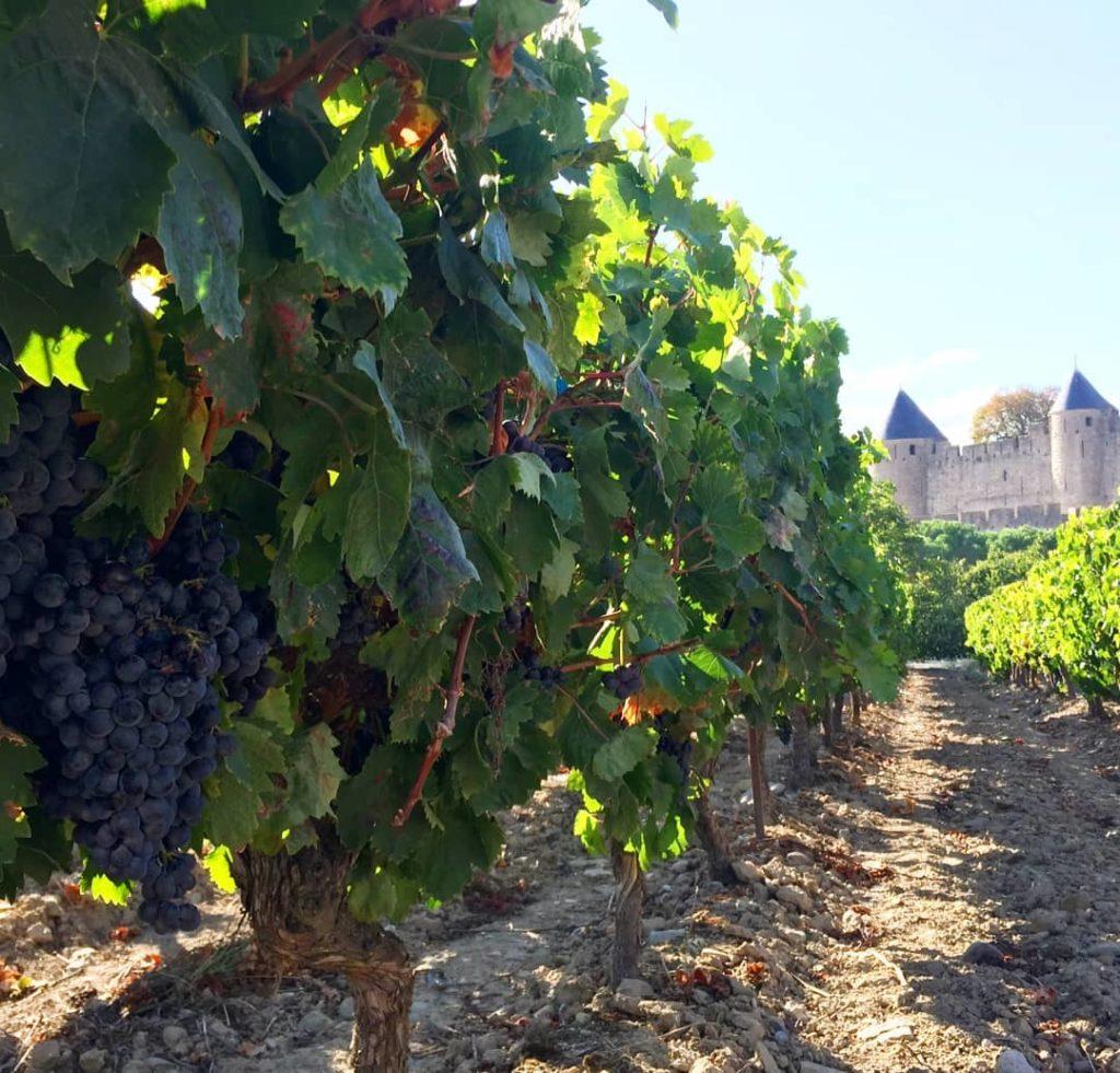 vignes-cité-carcassonne