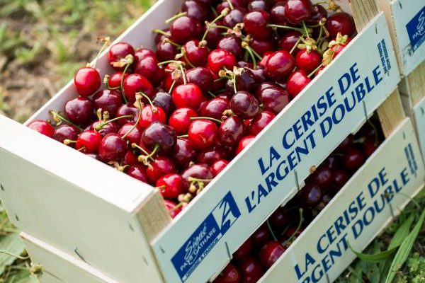 Cerises-pays-cathare